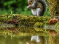 Grey-Squirrel-pool-reflection-2