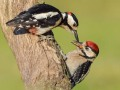 Woodpecker-with-Juvenile