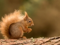 Red Squirrel - Julie Hall