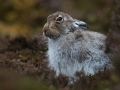 Mountain Hare - Jenny Webster