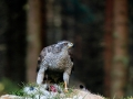 Goshawk-on-a-Kill-by-Jez-Shimell