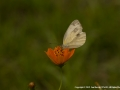Large-Cabbage-White-by-JanHarris-CPAGB