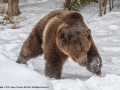Male-Grizzly-Bear-In-The-Snow-by-Jenny-Webster