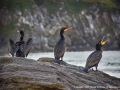 Restless-Cormorants-by-Michael-McIlvaney