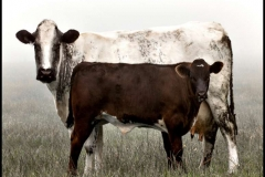 Couple-of-Cows-by-Jan-Harris