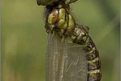 Emerging-dragon-Fly-by-Rebekah-Nash