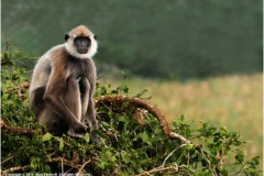 Grey-Langur-by-Alan-Fackrell