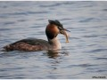 Grebe-Podiceps-Cristatus-With-Catch-2