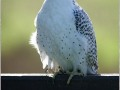 Gyr-Falcon-Falco-rusticolus-In-The-Mist-2
