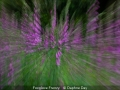Novice_Daphne-Day_Foxglove-Frenzy_1_Commended