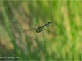 Migrant-hawker-in-Flight