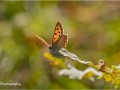 Small-Copper-Butterfly