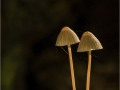 parasol-mushrooms