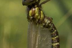 Emerging-Dragon-Fly-cr