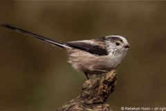 Long-Tail-Tit-cr